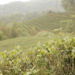 Een groene oolong Baozhong uit Taiwan